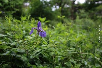 붓처럼 생긴 붓꽃, 청초한 파란 붓꽃