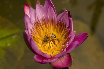 수련 꽃 위 꿀벌