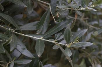 올리브나무