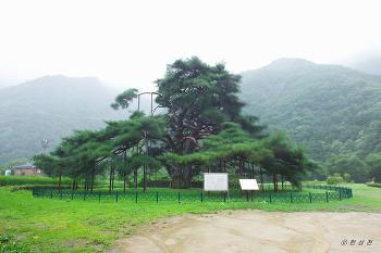 천연기념물 제352호 보은 서원리 소나무