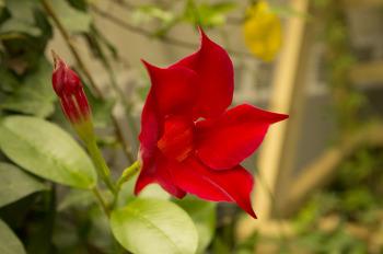 만데빌라꽃, 접시꽃, 무궁화