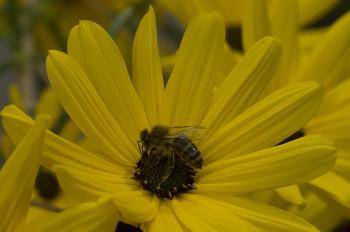 노란 가을꽃 & 꿀벌