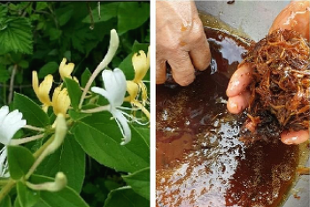 인동초(금은화)효능 및 인동덩굴 효소만들기