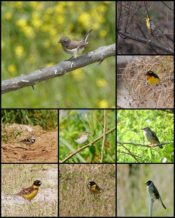 [Spring] Birding trip in Remote island of Yellow Sea