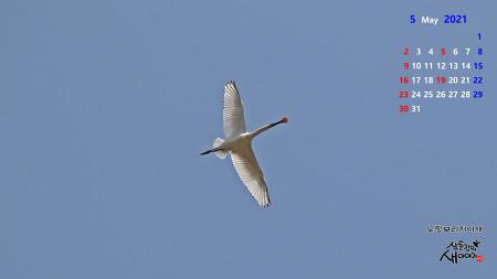 2021년 5월, 새사진 달력(노랑부리저어새, 알락할미새, 민물도요, 흰물떼새)