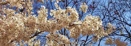 수원 벚꽃 명소 추천! 가족과 함께 걷기 좋은 '천천동 산책로'