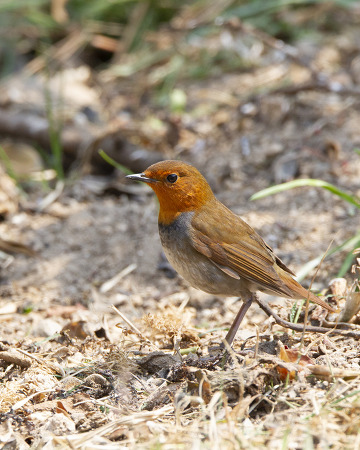 붉은가슴울새 Japanese Robin