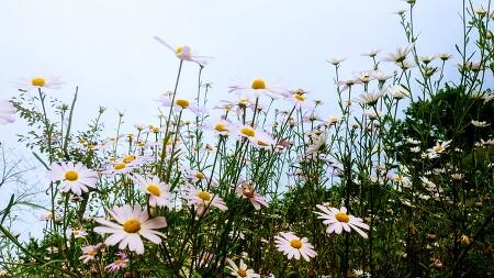 [죽풍의 시] 구절초 자작시 '가을 여인', 구절초 꽃말은 가을 여인