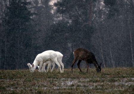 신화나 전설 속 하얀 사슴 실제로 목격되다