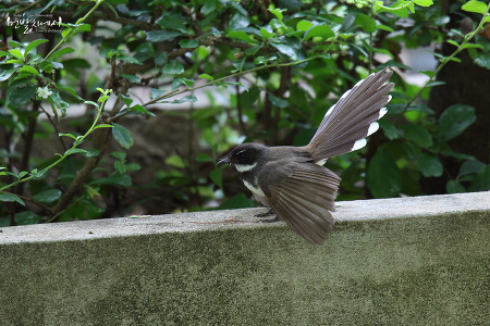 Malaysian Pied Fantail