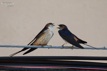 귀제비 [Red-rumped Swallow]