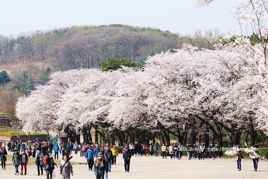 서울대공원 벚꽃축제 다녀왔어요 ~