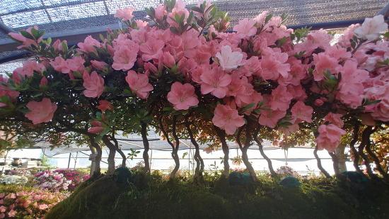 [산청여행] 형형색색 그리고 가지각색 철쭉꽃이 환상적인 산청 철쭉분재원/꽃과 나무 그리고 분재를 좋아하는 사람이라면 꼭 가볼만한 산청 여행지/산청여행코스, 산청 가볼만한 곳 추천