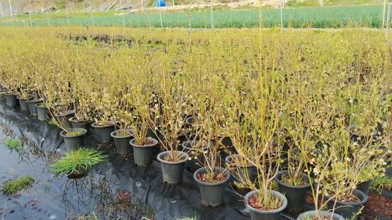 [블루베리 묘목판매] 함양행복찾기농원에서 블루베리 묘목을 판매합니다/블루베리 4년생 묘목 가격 및 블루베리 묘목 심는 시기/안토시아닌 성분으로 눈 건강에 좋다는 블루베리 효능