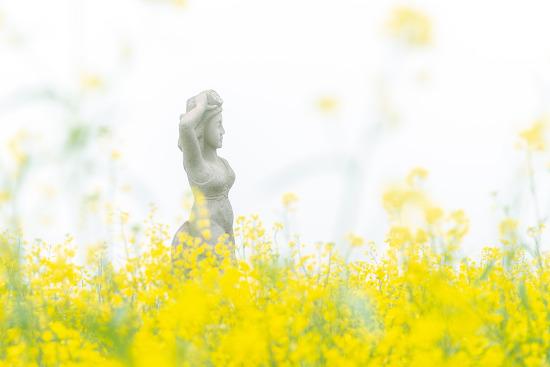 오라동 청보리 & 유채꽃축제 - 아스라한 안개속 풍경