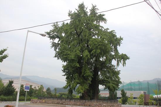 강원도 영월여행 1000년을 살아 온 하송리 은행나무
