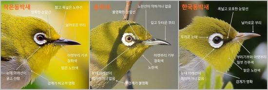 동박새류[White-eye]  동정하기: 동박새, 작은동박새, 한국동박새