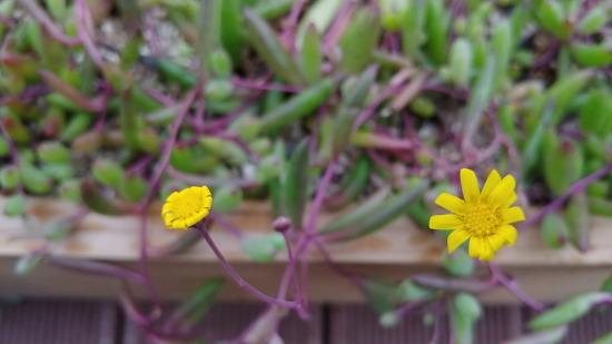 [죽풍의 시] 진주목걸이/ 다육식물 진주목걸이 꽃말은 '정열'