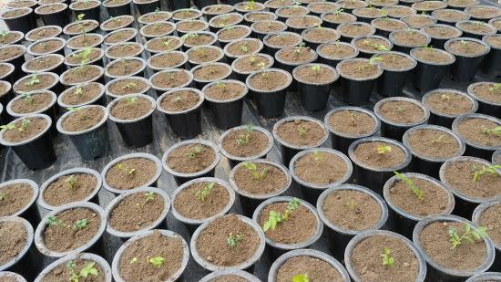 [블루베리 묘목 추천] 함양 까끔이골농장 블루베리 묘목 4년생 가격 및 블루베리 묘목 판매