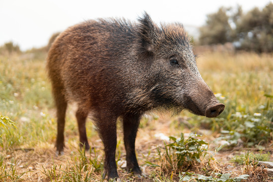 우리는 멧돼지와 함께 살아갈 것이다: 아프리카돼지열병 대응을 위한 전문가 토론회 참관기