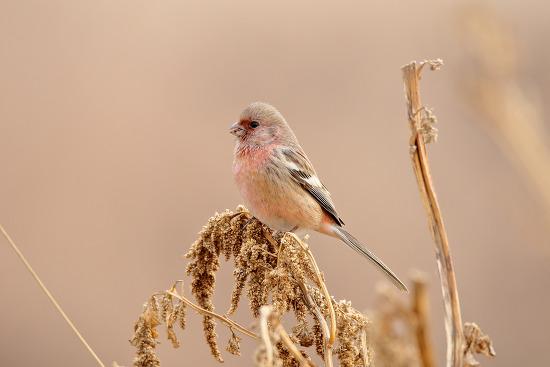 긴꼬리홍양진이 Long-tailed Rosefinch