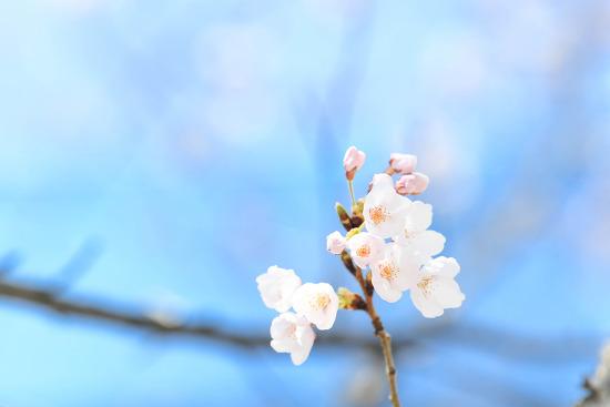 [SOME포토] 2019 벚꽃엔딩