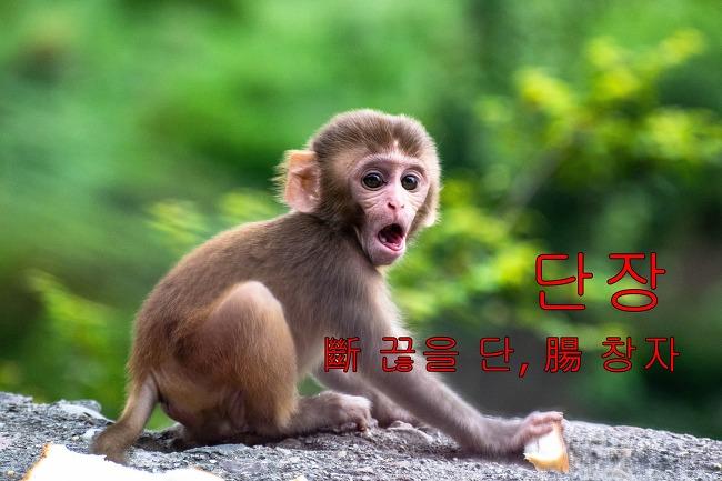 장이 끊어질 정도로 슬프다! 원숭이의 모정에서..