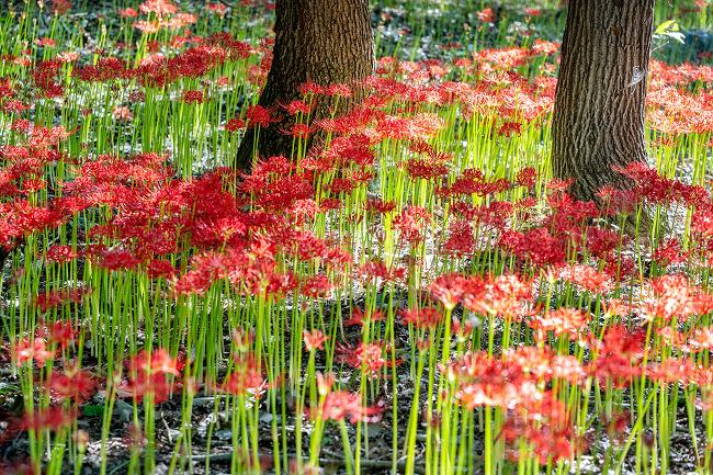 영광 불갑산 상사화축제, 랜선으로 즐기는 9월 꽃무릇 여행