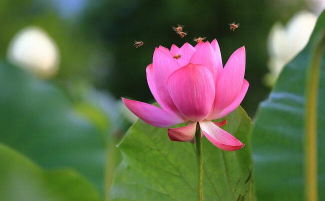 양평 두물머리 연꽃