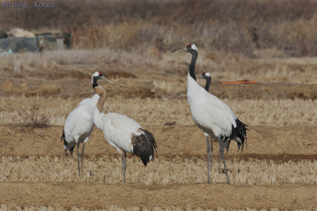7 kinds of Cranes in South Korea