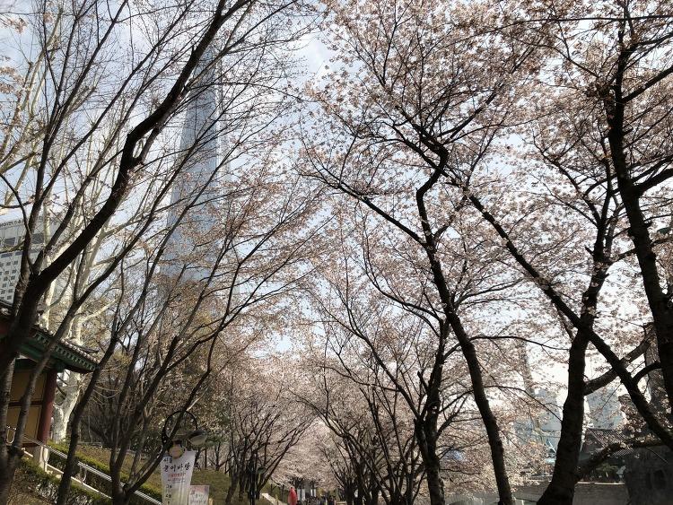 봄 2019석촌호수 벚꽃축제, 롯데월드 분홍빛 금요일 오전 데이트