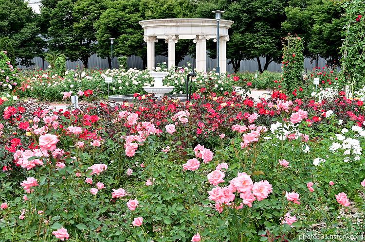 [올림픽공원] 장미, 코스모스, 핑크뮬리