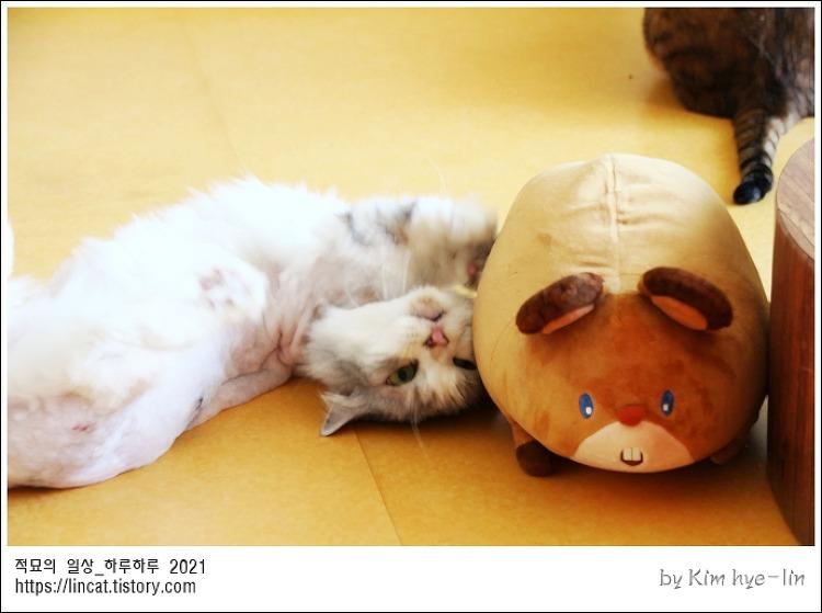 [적묘의 고양이]친구님네 고양이들,사냥본능,잡아라, 쥐를잡자,뱅갈고양이,먼치킨,인형잡기