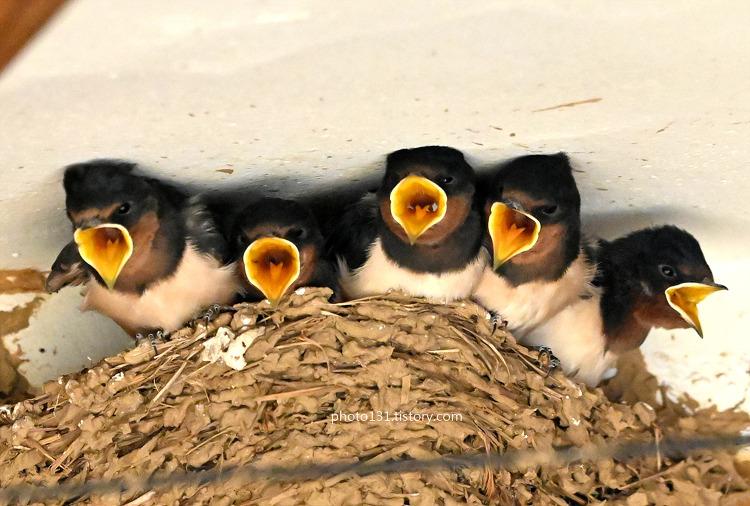 고향집 제비새끼 오남매