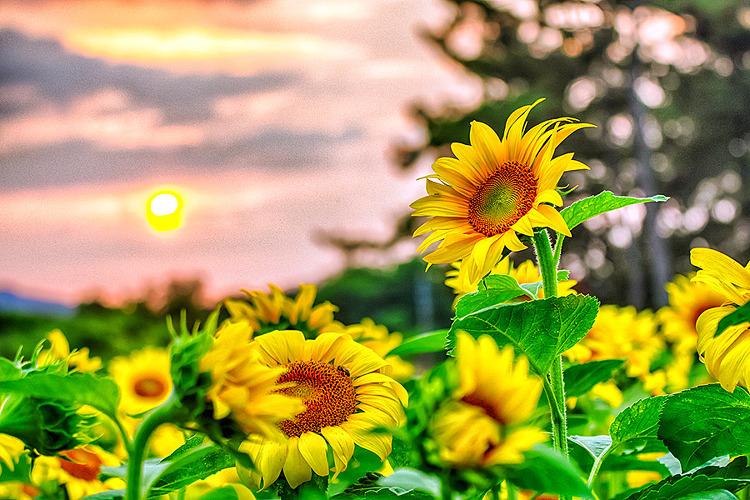 김제 해바라기밭