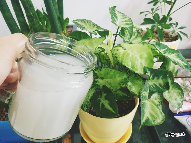 천연영양제 '쌀뜨물' 로 가을철 화분 영양보충하기