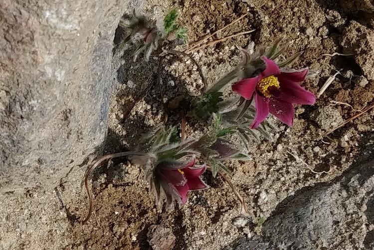 [야생화] 동강할미꽃 꽃말은 슬픈추억과 사랑의 굴레, 동강할미꽃이 피었습니다