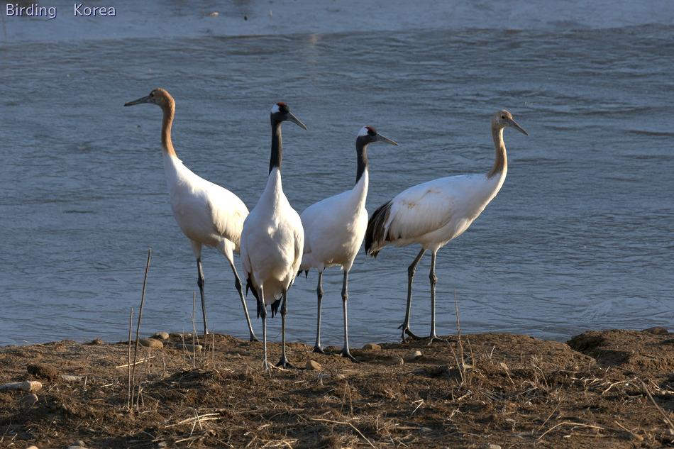 Enjoy Cranes, the most fantastic birding in..