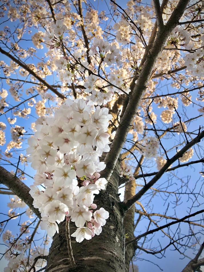 사월 April 초, 동네에 핀 꽃들