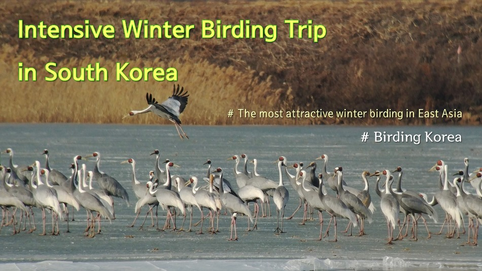 Intensive Winter Birding Trip in South Korea..