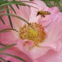 화초 양귀비