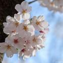 벚꽃-얼레지-애호랑나비