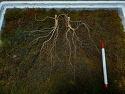 산양삼 두뿌리 감상