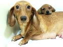 """레드 모색의 모견 """"올리브"""" 의 강아지들.."""