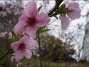 전남대 봄꽃 향연