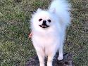 (포메라니언) 강아지를 찾습니다. 전남..
