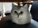 고양이를 찾습니다 (페르시안/여아/충..