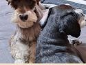 (광주/슈나우저/수컷) 강아지를 찾습니..