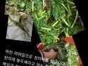 이런 머위 잎으로 장아찌 만들기.