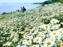 변산마실길 샤스타데이지 꽃 풍경